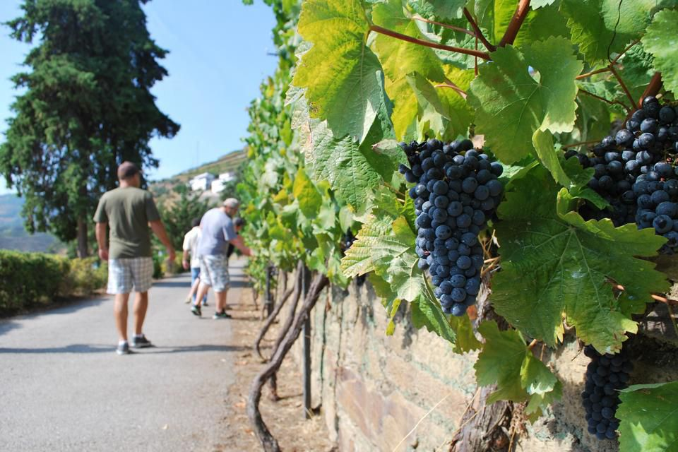 images.forbes.com_courtneyschiessl_files_grape bunches_labportugaltours
